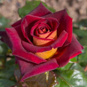 rosier Eddy Mitchell