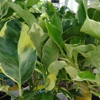 Agrume : citronnier panaché