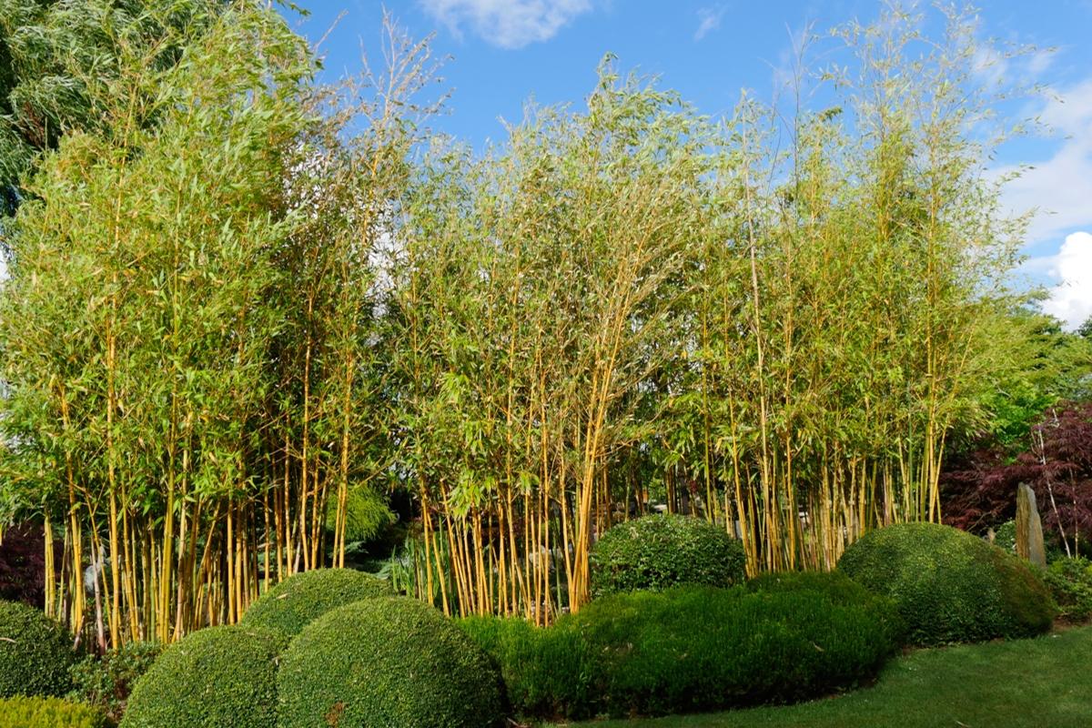 Buis et bambous