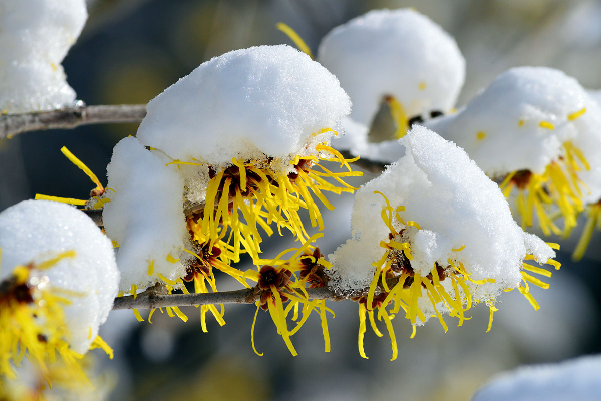 hamamelis sous la neige