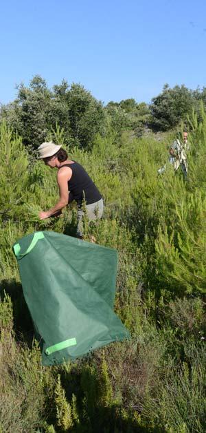 Provence : cueillette du Romarin