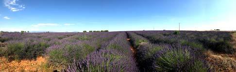 Provence : Lavandes