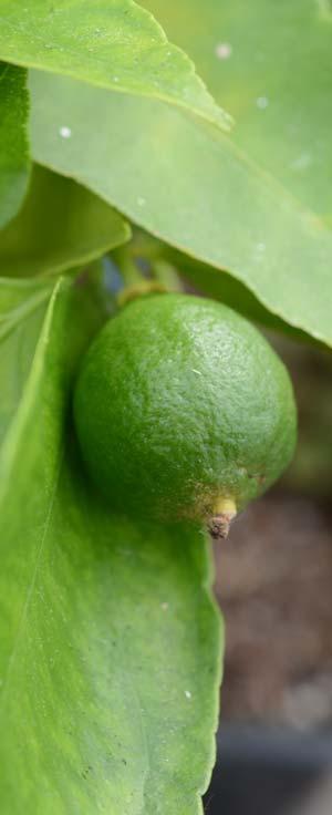 Agrume : Lime des Antilles