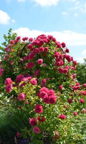 roses du Rosier 'Mathilde Seigner'
