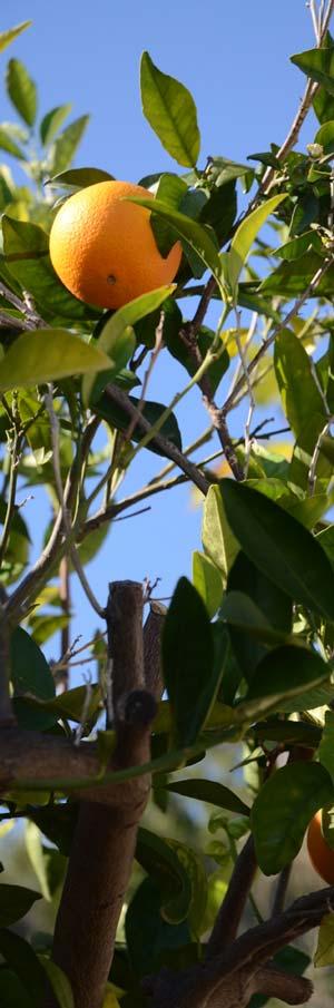 Agrume : Oranger de Crête