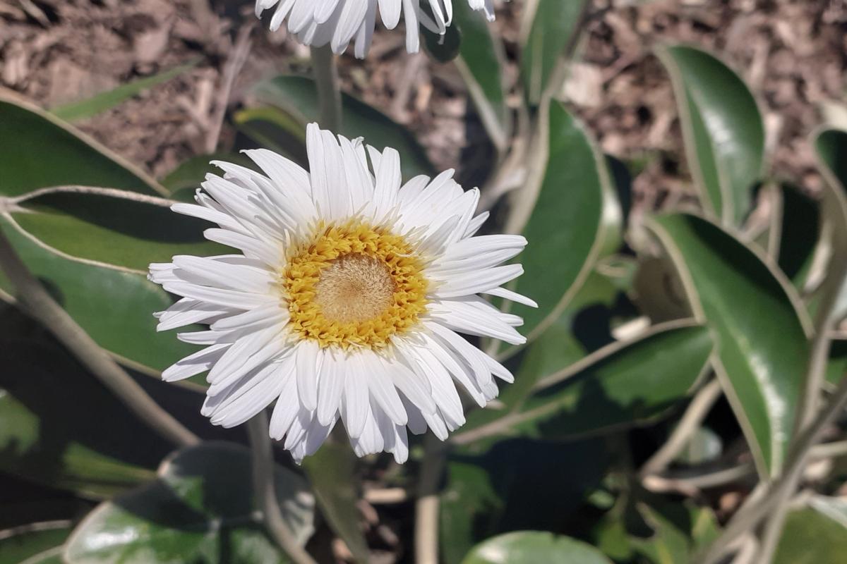 Pachystegia insignis
