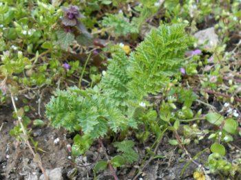 Plantes indéfrisables : Tanacetum vulgare crispum - Hortus Focus