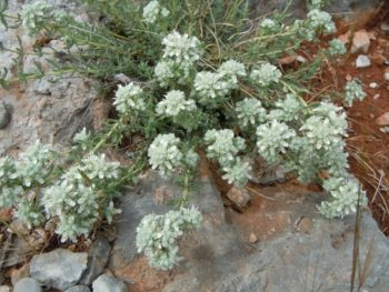 Teucrium tomentosum