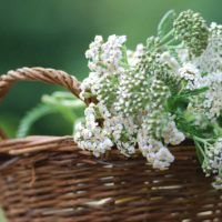Achillea millefolium : panier