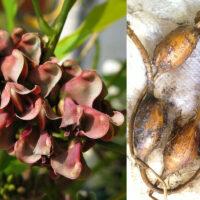 Glycine tubéreuse - Apios americana