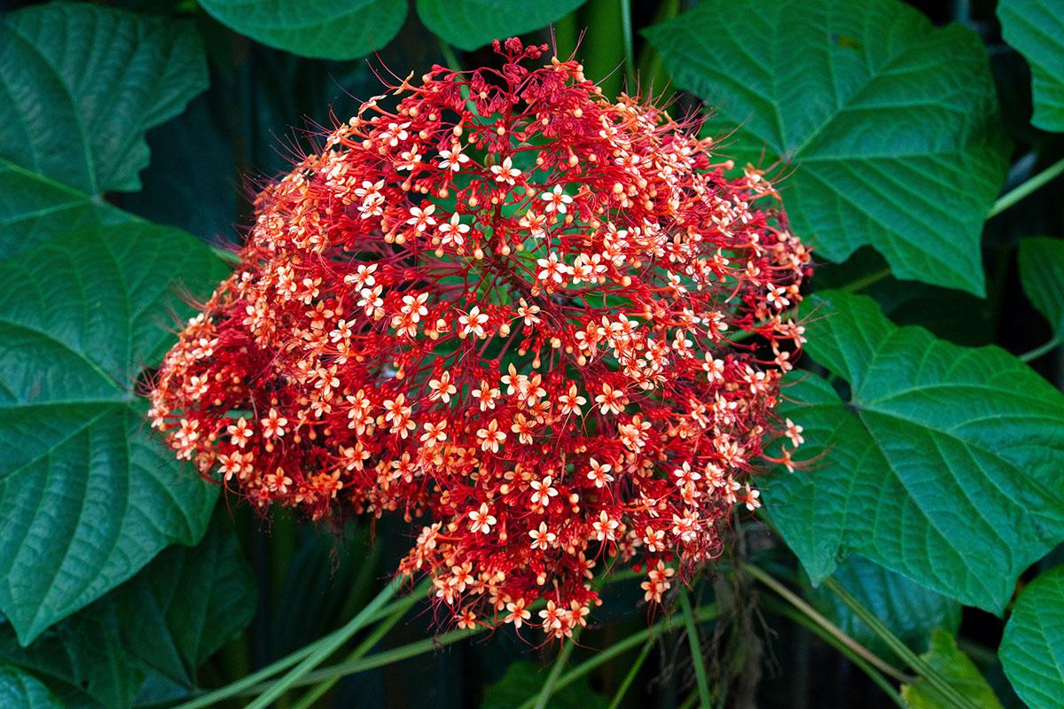 Clerodendron paniculatum