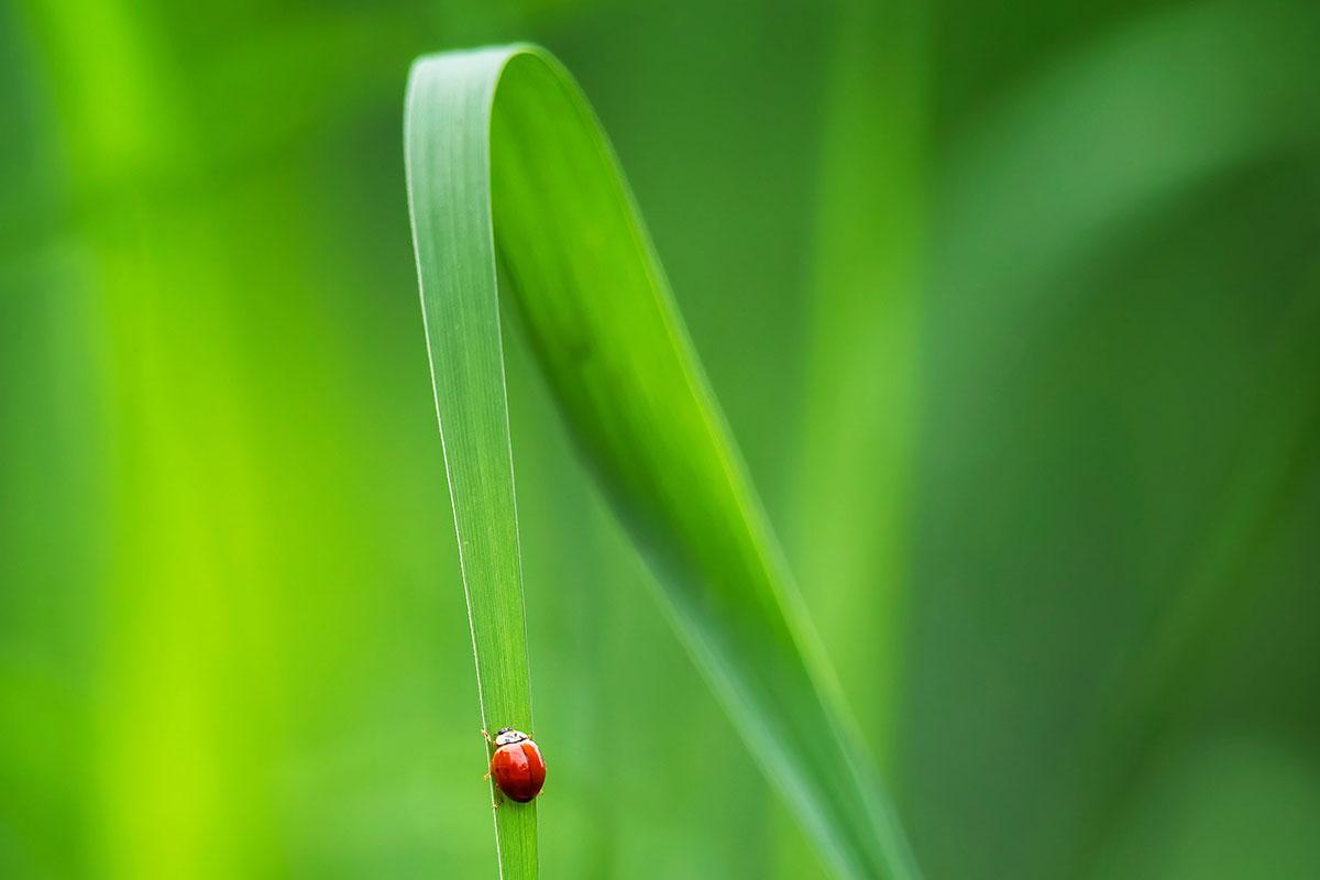coccinelle sur brin d'herbe