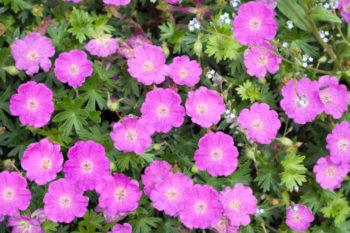 geranium sanguine