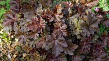 Plantes indéfrisables : Heuchera Chocolate Ruffles