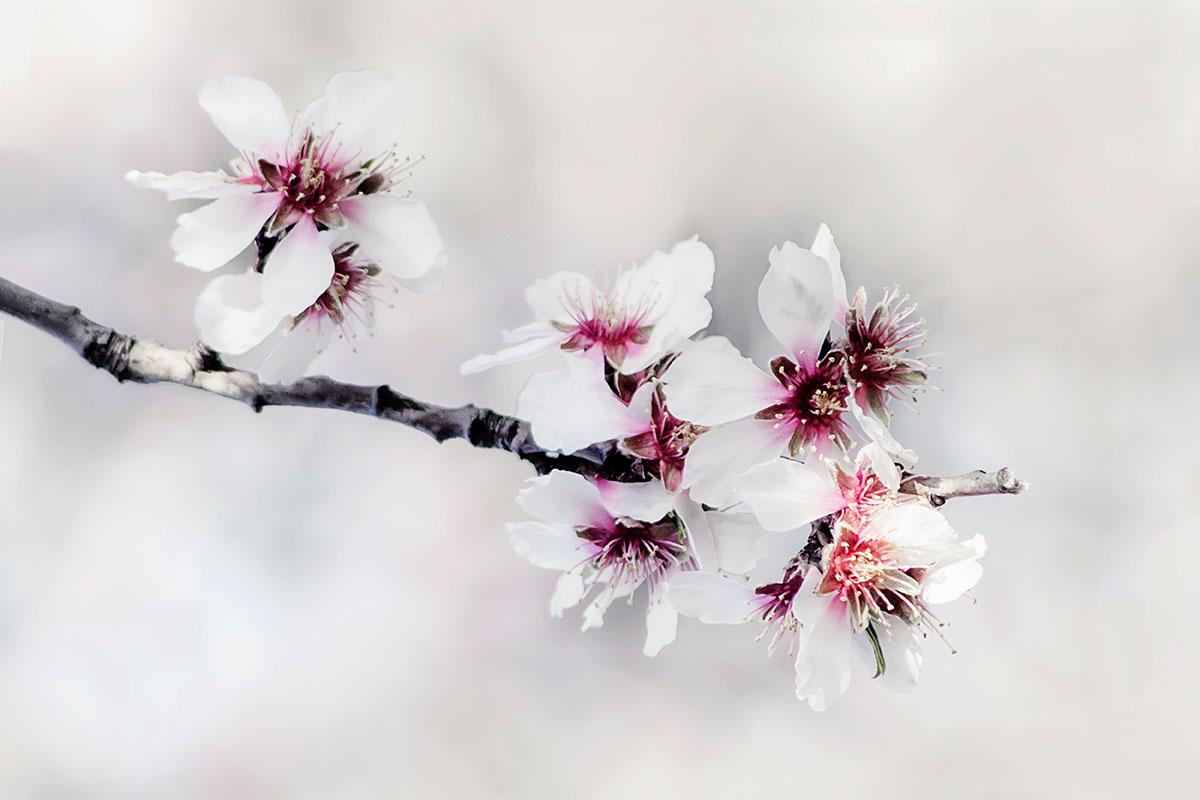 prunus au printemps