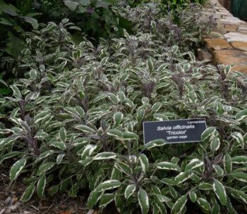 salvia officinalis tricolore