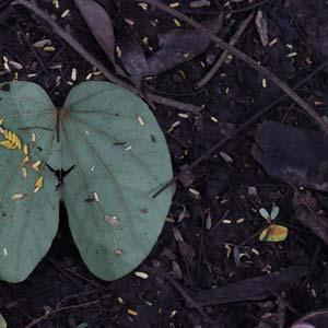 Biochar : sol en Amazonie