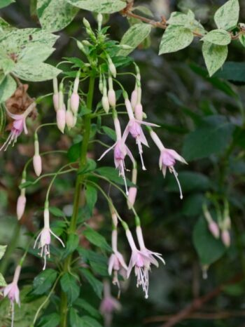 Fuchsia 'Whiteknight's Pearl''