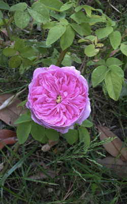 Rose Baptistine