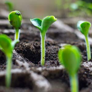 Courgette : semis