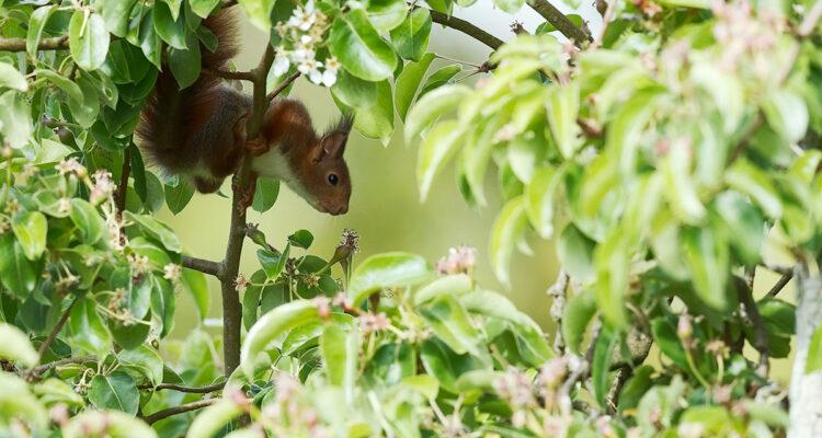 écureuil dans fruitier