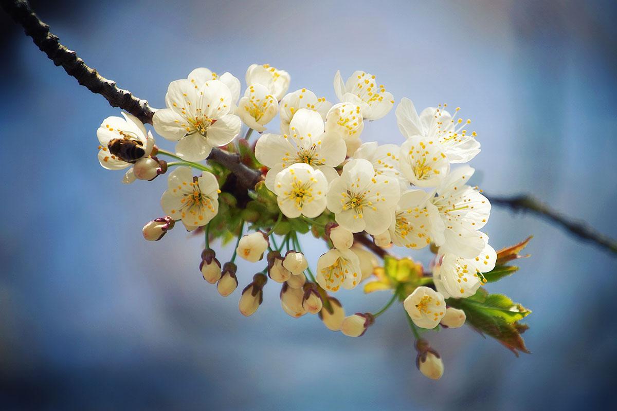 fruitier printemps