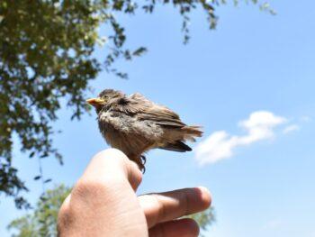 oiseau tombé du nid