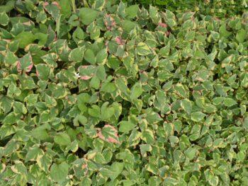 Plantes comestibles : Houttuynia kordaat