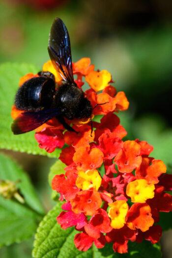 abeille charpentière sur lantana