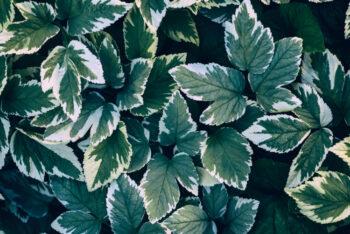 Plantes comestibles : herbe-aux-goutteux