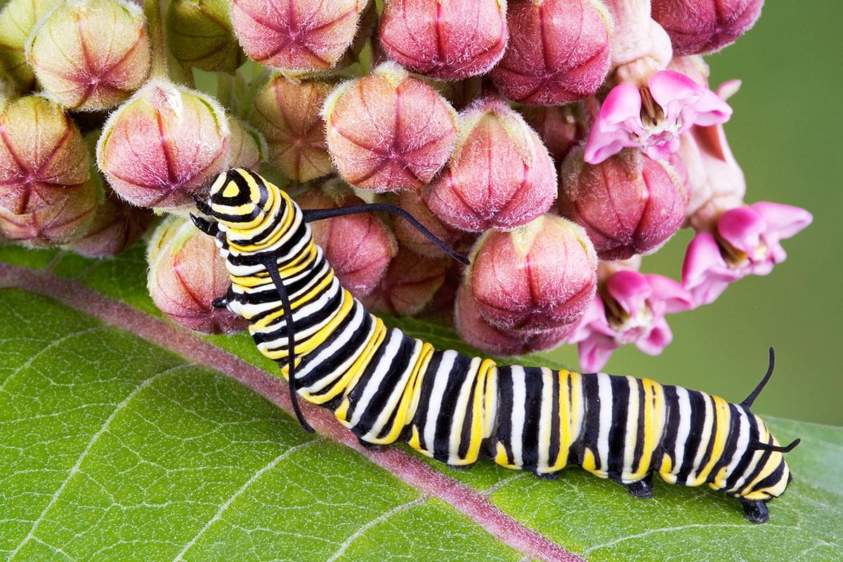 chenille du Monarch