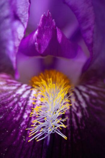 iris barbu