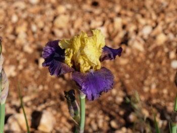Iris 'Jurassic parc'