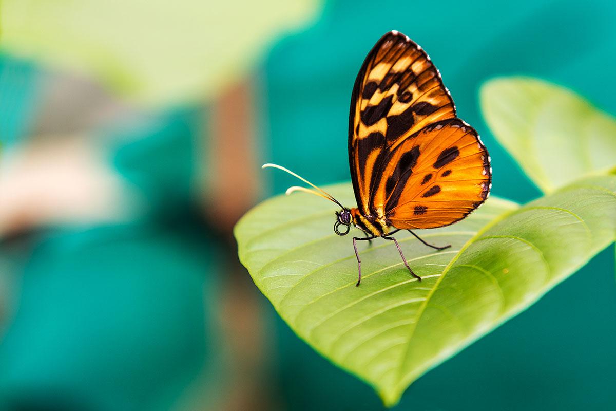 papillon melinaea