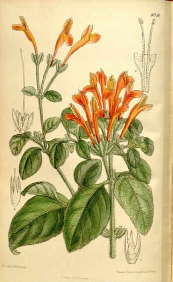gravure Jacobinia