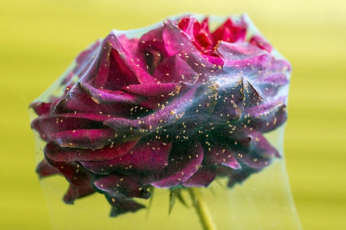 acarien sur rose