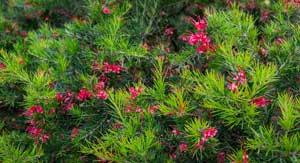 Bord de mer : Grevillea rosmarinifolia