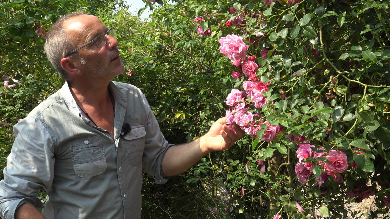 Roses Mela Rosa - Jean-Lin Lebrun