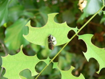 megachile sur acacia