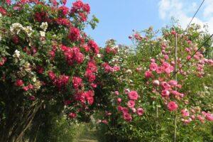 Roses Mela Rosa