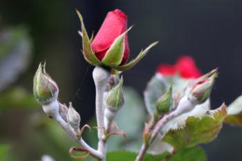 oidium sur rosier