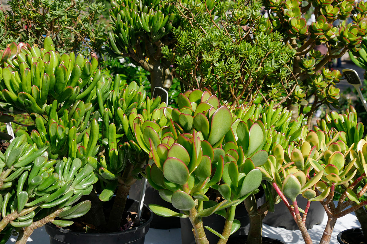 Crassulaceae : crassula ovata