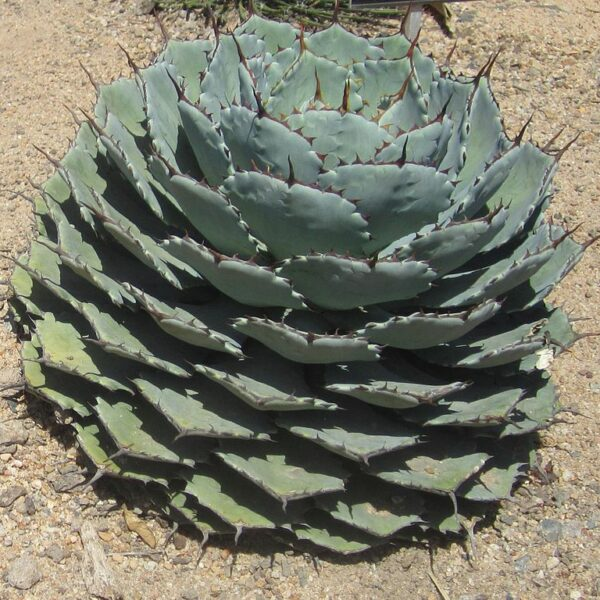 agaves rustiques