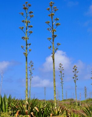 agave en fleurs