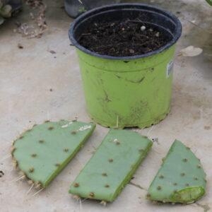 bouturer un cactus raquette