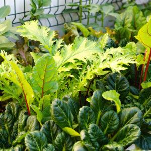 chou chinois plantes compagnes