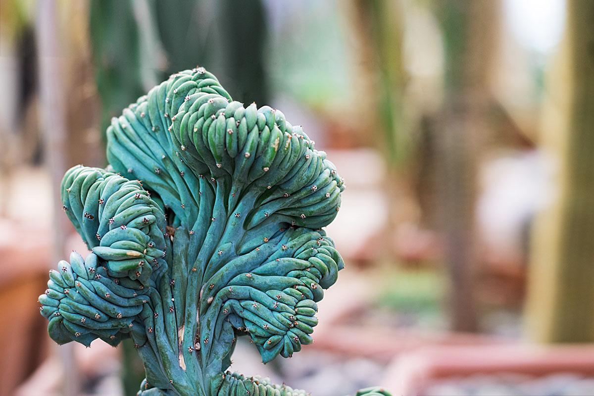 Euphorbia obesia cristata