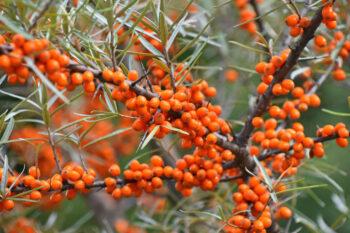 arbustes qui résistent à la sécheresse