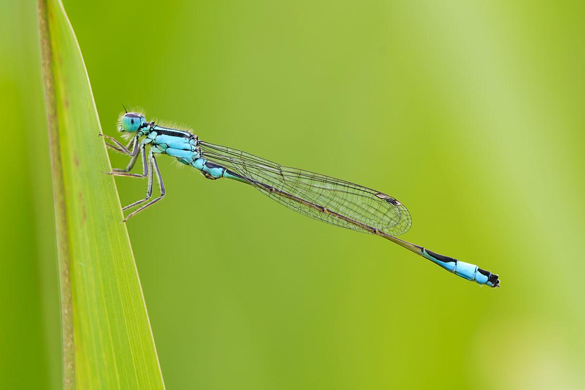 ischnura elegans : demoiselles