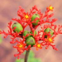plante corail : jatropha